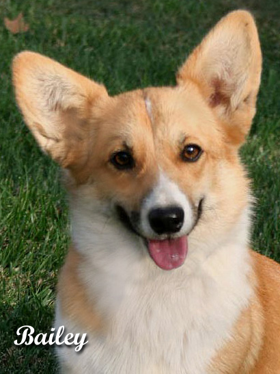 Corgis For Sale >> Noble Hearts Pembroke Welsh Corgi Breeder Puppies for sale