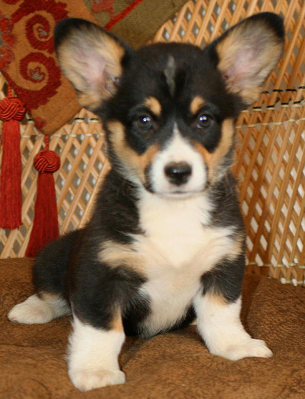 Mini Corgi Puppies For Sale >> Noble Hearts Pembroke Welsh Corgi Breeder Puppies For Sale
